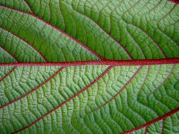 hawaiian plants mamaki a hawaiian medicinal plant hawaii horticulture