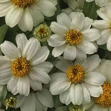 zinnia flowers profusion white zinnia seeds