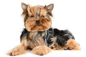 pet halloween costumes uk puppy yorkshire terrier dogs animals