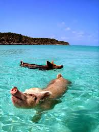 bahamas vacation spots are also home to swimming pigs