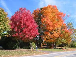 maple trees plants for sale lowest prices save 80 buy