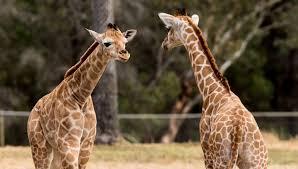 giraffe archives animal fact guide