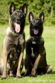 belgian shepherd breeds belgian shepherd malinois oh ya just because pinterest