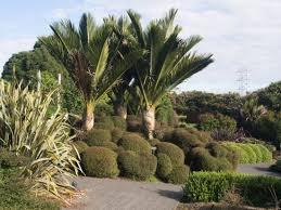 New Zealand Botanical Gardens Nikau Palms And Sheared New Zealand Shrubs For Landscaping