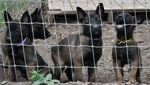belgian malinois near me police k 9 puppies for sale belgian malinois puppies ruidoso