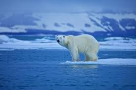 polar bears white wonderopolis