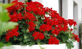 geranien balkon geranien im handel sind zimmerpflanzen wz de