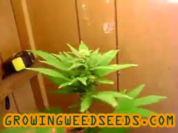 how to clone marijuana plants for an indoor marijuana video