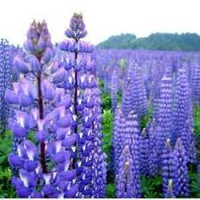 amazon com outsidepride lupine perennial wildflower 500 seeds