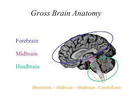 Gross Brain Anatomy Brain Basics Brain Basics Brain On Drugs What Is Your Nervous