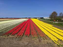 Netherlands Tulip Fields Can You Still See The Tulips Of The Netherlands In May