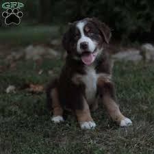 australian shepherd mastiff mix bernese mountain dog mix puppies for sale greenfield puppies