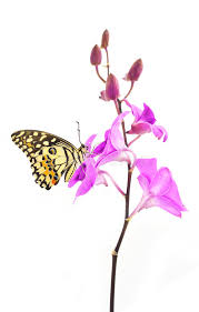 butterfly on pink orchid flower stock image image of bottom