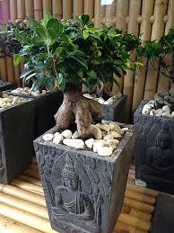 bonsai saule pleureur restons zen avec un ficus u0027ginseng u0027 avec ou sans bouddha sur son