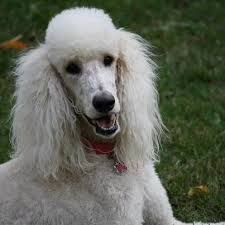 the adventures of stella the big white poodle poodle forum