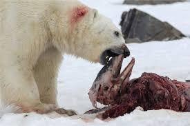 imagenes de animales carnivoros para imprimir cambio climático los osos polares comenzaron a comer delfines