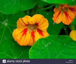 tropaeolum nasturtium red orange yellow colourful colorful bright
