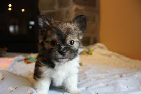 dogs 101 affenpinscher animal planet so fine mi kis contact seller of mi ki puppies from reputable