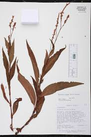 native plants fort myers persicaria glabra species page isb atlas of florida plants