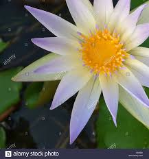 tranquility lilac white lotus water lily flower of peace and tranquility stock