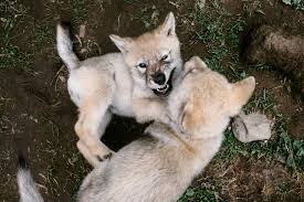 wolf puppies adorable call wild