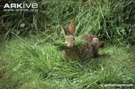 rabbit material rabbit photo oryctolagus cuniculus a10070 arkive