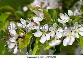 white flowers of the ornamental crab apple malus jelly