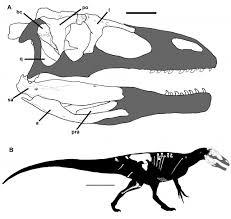 meet murusraptor the supermodel of megaraptors dead things