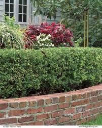 Flowering Privacy Shrubs - evergreen hollies fine gardening