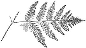 file ofh 041 pteris aquilina lower pinna png wikimedia commons