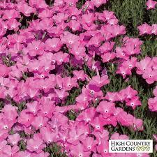 phlox flower phlox nana pink pink santa fe phlox high