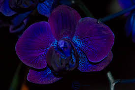 blue and purple orchids purple orchids savingourboys info