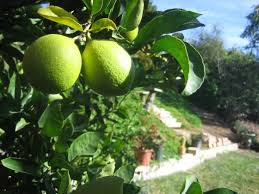 how to get plant grow your own lime trees in houston houston