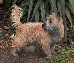 brindle cairn haircut cairn terrier skye terrier dog breed guide information and pictures