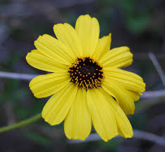 african native plants bush sunflower native plants csu channel islands