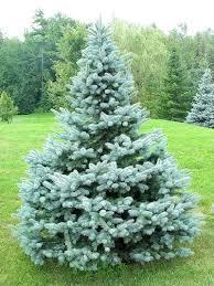 blue spruce spruce colorado baby blue thetreefarm