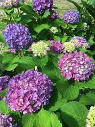 hydrangea a guide to understanding hydrangea baxter gardens