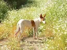afghan hound vs wolfhound podenco canario wikipedia