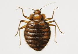 What Do A Bed Bug Look Like How To Get Rid Of Bed Bugs And What Do They Look Like Metro News