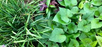 our permaculture life sweet potato greens more nutritious than