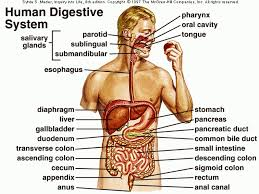 diagram of digestive system to label database wiring diagram