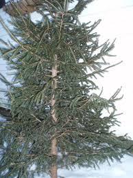sweetmeadowsfarmhappenings one tree