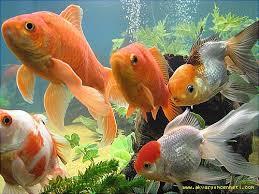 Balıklarda üreme nasıl olur
