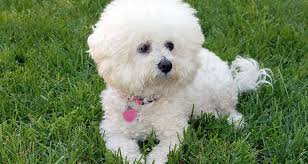 bichon frise dogs for adoption hypoallergenic dogs cesar u0027s way