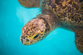 Zoo Lights Pt Defiance by Two Green Sea Turtle Now Reside At Point Defiance Zoo U0026 Aquarium