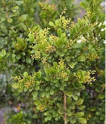 Garden Tree Types - chinese perfume tree in the garden growing chinese perfume trees