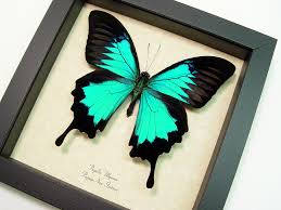 papilio ulysses butterfly designs framed butterflies