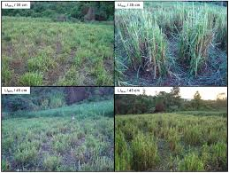 agriculture free full text ecophysiology of c4 forage grasses