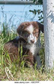 australian shepherd 10 weeks old australian shepherd red tri stock photos u0026 australian shepherd red