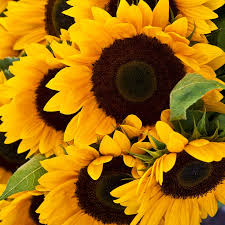 sunflower pictures sunflower seeds sunflower seeds in bulk or packets for planting